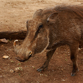 ONE TUSK WARTHOG by Judy Patching - Novices Only Wildlife ( warthog sow tusk broken wild )