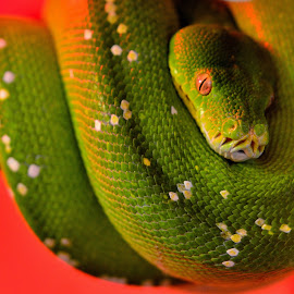 Green Tree Python by Scott Fenderson - Animals Reptiles