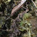 Moss-mimic Walking Stick