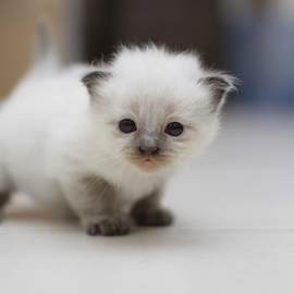 Siamese Kitten by Ayarx Oren - Animals - Cats Kittens ( cats, kitten, sweet, white, adorable, siamese cat, cute, smart )