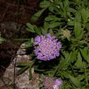 Scabiosa hymmetia (Σκαμπιόζα του Υμηττού)