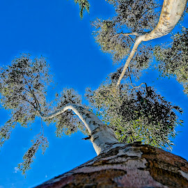 Way Up There by Barbara Brock - Nature Up Close Trees & Bushes ( two trees, spindly trees, looking up at tall trees, tall trees )
