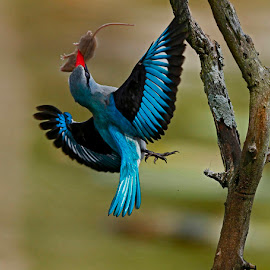 Woodland Kingfisher  Halcyon senegalensis  by Chris Krog - Animals Birds ( halcyon, kingfisher, woodland )