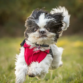 Aiku by Sharon Snider - Animals - Dogs Running ( #dog #dogrunning #shihtzu #portrait #dogportrait #action )