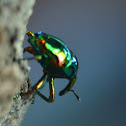 Emerald Weevil