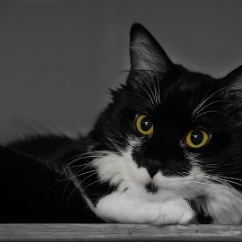 Portrait of a Tuxedo by Rick W - Animals - Cats Portraits ( formal, cat, pet, tuxedo cat, portrait )
