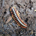 Flat-backed millipede