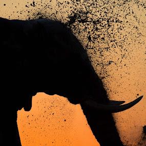 Elephant mud bath by Pierre Bassani - Animals Other Mammals ( wild, orange, #nature, sinset, south africa, beautiful, travel, close up, sun, portrait, #wildlife, colour, #photooftheday, #sunset, #elephant, sunrise, africa, light, #photography, travel photography, #africanelephant )