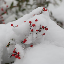 Snow Berries by Kathy Suttles - Nature Up Close Gardens & Produce (  )