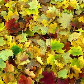 Autumn leaves by Dan Dusek - Nature Up Close Leaves & Grasses ( nature art, autumn leaves, nature close up, autumn colors, nature photo, fall, color, colorful, nature )