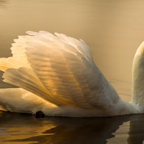 Swan by Rose-marie Karlsen - Animals Birds (  )