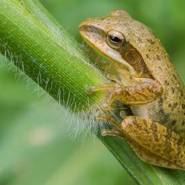 Frog by Ram Kiran - Animals Amphibians ( macro, frog, ambhibian, close up, portrait,  )