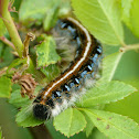 The Eastern tent caterpillar