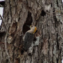 Gold-fronted Woodpecker