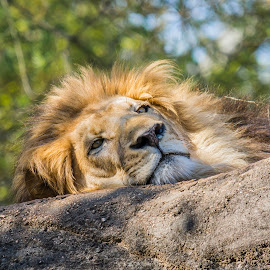 Cat Nap by Brandon Satinsky - Animals Lions, Tigers & Big Cats ( lion, cat, nature, animal )