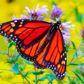 Butterfly by Michael Wolfe - Animals Insects & Spiders ( monarch butterfly, bugs, monarch, insect, fields, wild flowers )