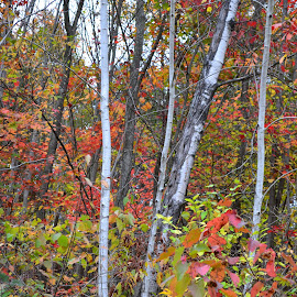 Autumn Birch by Dawn Lewis - Novices Only Landscapes ( nature, autumn leaves, novice, trees, landscape, fall, color, colorful )