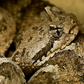 The Desert Sidewinder by Rod Schrader - Animals Reptiles