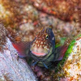 Caboz by Artur Silva - Animals Fish ( macro, underwater, fish, underwater photography, portugal, caboz, azores )