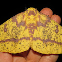 Imperial moth, female