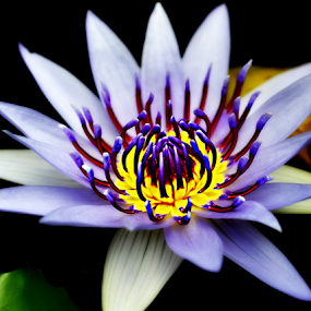 by Keple MN - Flowers Single Flower ( lotus, waterlily, single, purple, plants, flower )