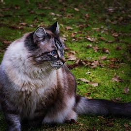 Doofus #2 by Todd Bellamy - Animals - Cats Portraits