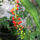 bloodberry, coral berry, pigeonberry, rouge plant