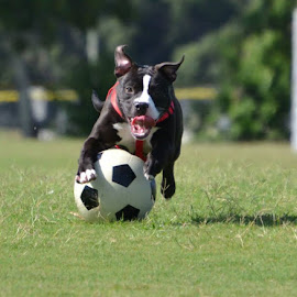 Happy Pitt! by Cassy Perryman - Animals - Dogs Running