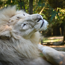 Big Daddy by Penny Wade - Animals Lions, Tigers & Big Cats
