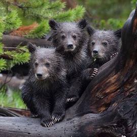 Cold, Wet, Miserable  by Kenny Midkiff - Animals Other Mammals ( grizzly, triplets, twin lakes, coy )