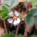 Pink barren strawberry, pasja jagoda