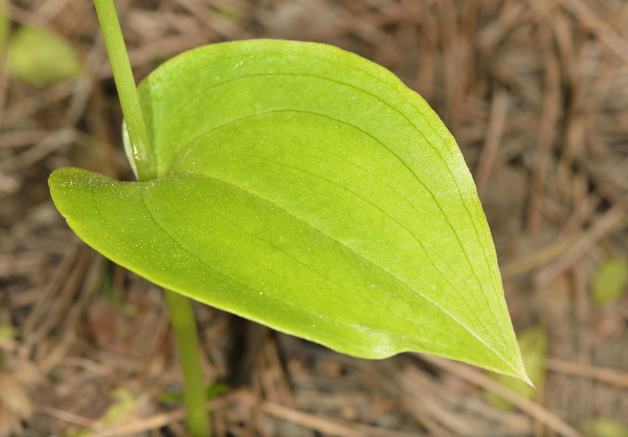 Hoja de Gennaria diphylla