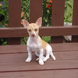 Lui c'est Flocon mon petit chien by Gisele Tremblay - Animals Other
