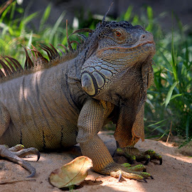 The Lizard by Santanu Dutta - Animals Reptiles
