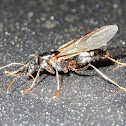 Silver winged ant