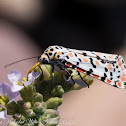 Crimson-speckled Footman/Flunkey