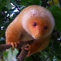 Common Spotted Cuscus/Kuskus