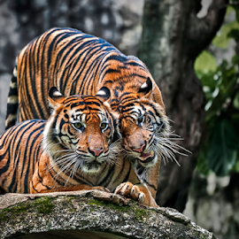 Just You & I by Aditya Permana - Animals Lions, Tigers & Big Cats