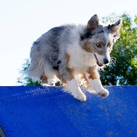 Over The Top by Monica Garrett - Animals - Dogs Running ( a frame, blue merle, dog, running, agility )