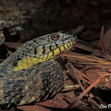 Diamond-backed Watersnake