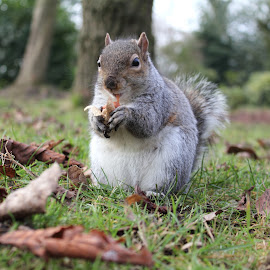 Grey Squirrel  by Ian Cramman - Animals Other Mammals ( grey squirrel, blackpool )