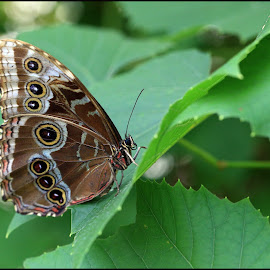 Butterfly by Bernice Sheppard - Animals Insects & Spiders ( brown & white, butterfly, patterns, green, leaves, insects )