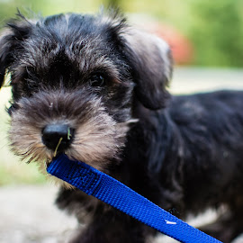i can walk my self by Andrew Small - Animals - Dogs Puppies ( leash, schnauzer, puppy, cute, dog, bokeh,  )