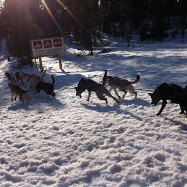 These dogs rock~ gave Seppa an awesome ride!  They even passed a bobcat! by Lora Treat - Instagram & Mobile iPhone