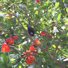 balck throated sunbird