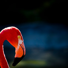 Lone Flamingo by Kyle Botsch - Novices Only Wildlife ( animals, color, flamingo, lone, birds )