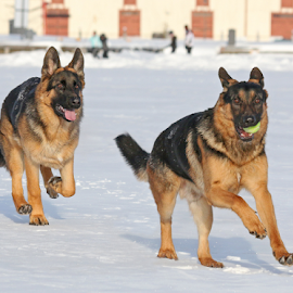 Follow me! by Mia Ikonen - Animals - Dogs Playing ( happy, finland, fun, german shepherd, running )