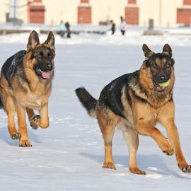 Follow me! by Mia Ikonen - Animals - Dogs Playing ( happy, finland, fun, german shepherd, running )