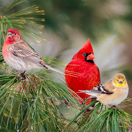 Pine Tree Visitors by Don Holland - Animals Birds ( winter, cardinal, finches, pine, perch )