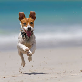 My Superdog Roxy by Dries Fourie - Animals - Dogs Running